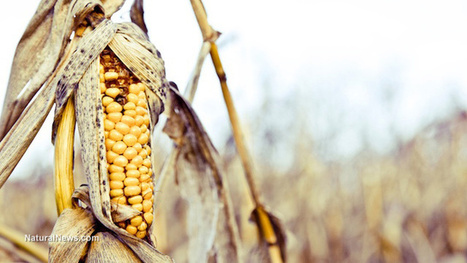 DuPont's GMO sales falter as pests develop resistance | sustainablity | Scoop.it