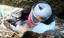 Puffin Burrow | Webcams of nature | Scoop.it