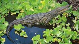 Florida crocodiles: Man-eating Nile beasts confirmed in swamps - BBC News | Upsetment | Scoop.it