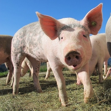 Scientists Successfully Transplant and Grow Stem Cells in Pigs | Amazing Science | Scoop.it
