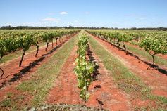 The good earth: Coonawarra Red Dermosol and Cabernet Sauvignon | Plant Biology Teaching Resources (Higher Education) | Scoop.it