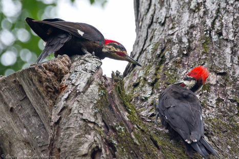 Wonderful #hike w/ Pileated Woodpecker Brothers amazing #photo opportunities & even an HD Video...  http://yfrog.com/klm0ohj editing now :o) | Photography | Scoop.it