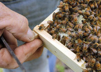 B-z-z-y season for local apiaries | Chapel Hill News | North Carolina Agriculture | Scoop.it
