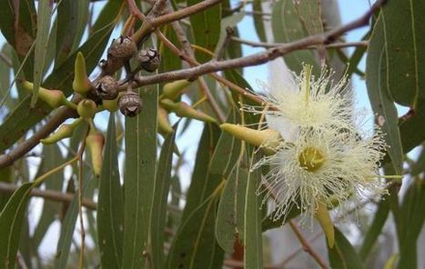 Eucalyptus and fire | Wildfire Today | Fire prevention with grasses | Scoop.it