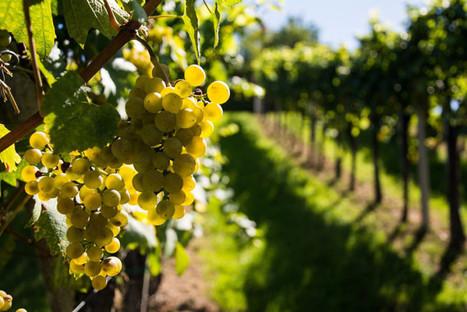 Les résultats sont tombés : la production de vin est au plus bas à cause du réchauffement climatique | Planete DDurable | Scoop.it