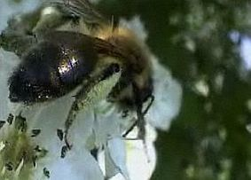 "Bees ""restored to health"" in Italy after this spring's neonicotinoid-free maize sowing 