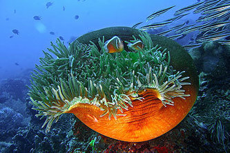 Underwater Photography by Tommy Schultz | MWA 3 | Saving the Corals | Scoop.it