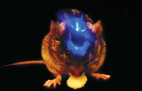 By triggering or silencing certain brain cells, mice eat or stop eating regardless of hunger | The Brain: Structures, Functions, and News | Scoop.it