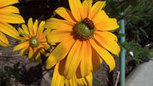 Seeds: Companion flowers attract the eye as well as garden pollinators - Sacramento Bee | Organic Gardening in Colorado | Scoop.it