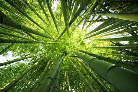 Le bambou : le végétal du bien être | The Blog's Revue by OlivierSC | Scoop.it