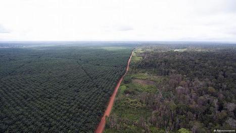 Palm oil versus paradise in Papua | Environment | DW.COM | 01.09.2016 | Epicurist: In Victus Veritas | Scoop.it