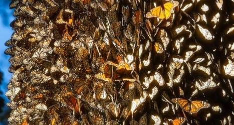 Las mariposas monarca pierden terreno en México | Bichos en Clase | Scoop.it