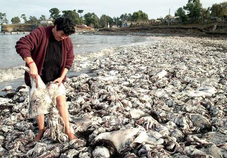 Cthulhu-geddon: Thousands of dead squid wash up on beach in Chile | Détective de l'étrange | Scoop.it