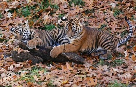 Tiger cubs, other endangered species seized in wildlife trafficking haul | Wildlife Trafficking: Who Does it? Allows it? | Scoop.it