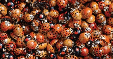 Science Magazine: Disease ecology | Biological invasions of ladybird beetle associated pathogens | Genetics of agriculturally significant micro organisms. | Scoop.it
