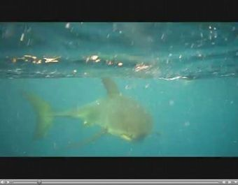 #Scuba Divers encounter Great White Shark off the coast of Florida | Scuba Diving | Scoop.it