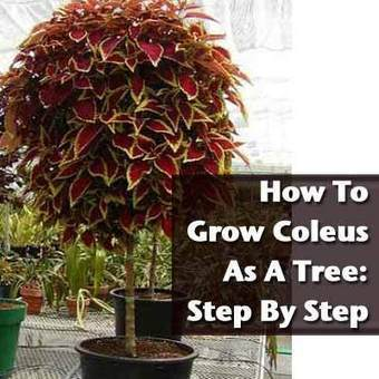 How To Grow Coleus As A Tree - Step By Step | Annie Haven | Haven Brand | Scoop.it