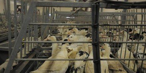 Crise aviaire : temps de crise, tant de questions | Agriculture en Dordogne | Scoop.it