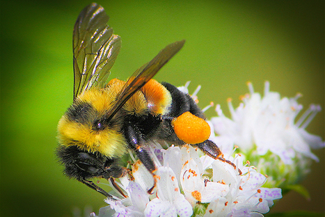 For the First Time, U.S. Considers Declaring a Bee Endangered | Our Evolving Earth | Scoop.it