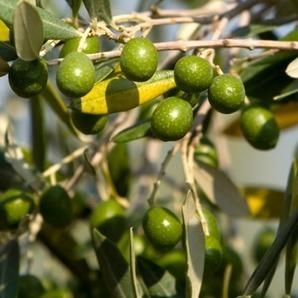 Mouche de l'olivier : des essais d'OGM attendus en Espagne | EntomoNews | Scoop.it