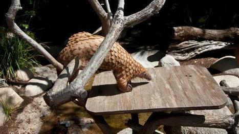 Only pangolin on display in the U.S. dies at San Diego Zoo   Let's End Poaching   Scoop.it