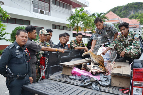 Tiger parts found on highway | Wildlife Trafficking: Who Does it? Allows it? | Scoop.it