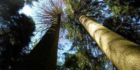 [Vidéo] Cévennes : les deux plus grands arbres de France abattus | EntomoNews | Scoop.it