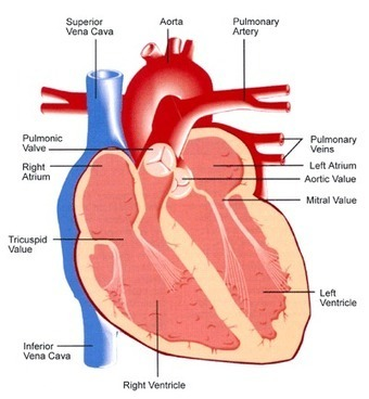 What is heart disease? | Making money at home | Scoop.it