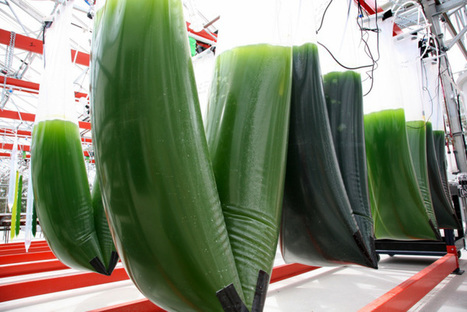 2013 could be a make or break year for algae fuel | Carbon Farming | Scoop.it