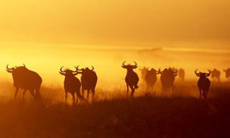 Serengeti highway threatens national park's wildebeest migration | Reese Geo 152 | Scoop.it