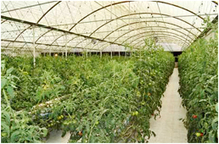 Abu Dhabi supports hydroponics with up to US$275000 loans per farmer - Practical Hydroponics & Greenhouses | Agricultural & Horticultural Industry News | Scoop.it