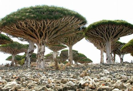 It is like being on a different planet... Strange plants of Socotra Island | Interesting Reading | Scoop.it