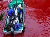 BOYCOTT JAPAN , TAKE THE PLEDGE AND SAVE THE DOLPHINS OF TAIJI | OUR OCEANS NEED US | Scoop.it