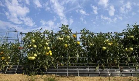 A (tomato) cage match - Minneapolis Star Tribune | Vertical Farm - Food Factory | Scoop.it