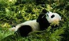 Giant pandas threatened by climate change | China environment (climate policy) | Scoop.it