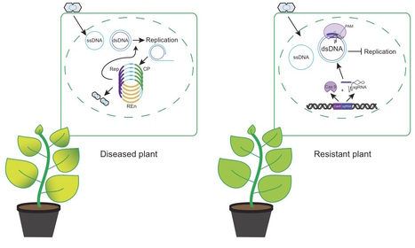 Genome Biology: Boosting plant immunity with CRISPR/Cas (2015) | Plant Genomics | Scoop.it