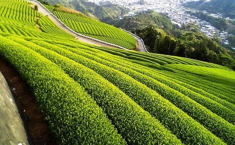 How Green Tea Help to Lose Belly Fat in Men   Benefits of Green Tea   Health and Sleep   Scoop.it