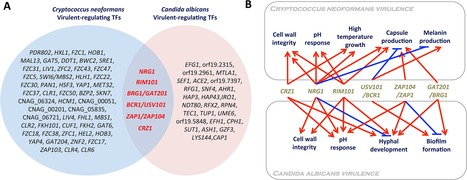 PLOS Pathogens: Exploiting Fungal Virulence-Regulating Transcription Factors As Novel Antifungal Drug Targets | Biologie Intégrative | Scoop.it