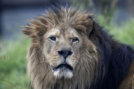 West African Lions Under Threat in Senegal - Voice of America   My Funny Africa.. is this the lions last roar?   Scoop.it