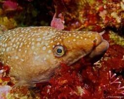 New Zealand Scuba Diving Creature Feature: Muraenidae - Moray Eels | New Zealand Underwater | Scoop.it