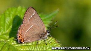 Cornouailles : Un papillon que l'on croyait disparu refait surface | EntomoNews | Scoop.it