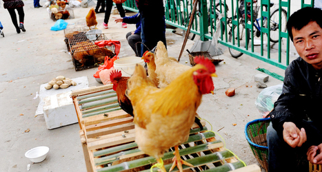 Chickens to blame for spread of latest deadly bird flu | Avian influenza virus A(H7N9) | Scoop.it