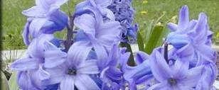 Bulbs and More - Selection - University of Illinois Extension   Annie Haven   Haven Brand   Scoop.it
