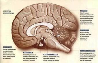 Tumeur au cerveau : des cellules souches pointées du doigt ! | les effet du cannabis sur notre système nerveux | Scoop.it