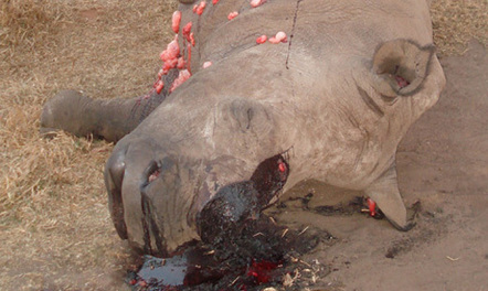 Limpopo park hit by rhino poachers | Help save our Rhino | Scoop.it