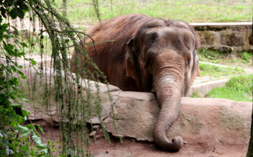 Nosey the Tortured Elephant Still Forced to Give Rides and Perform | Nature Animals humankind | Scoop.it