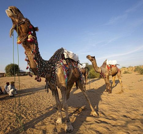Scintillating Camel Photography – Pushkar Fair Rajasthan | Vaibhav Tourism Services | Scoop.it