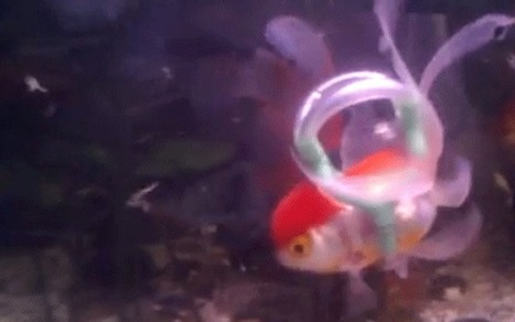 'Life jacket' helps disabled goldfish swim again | Gov and Law-McKinna | Scoop.it