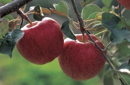 Les pommes modifiées par le réchauffement climatique | Nutrition | Scoop.it