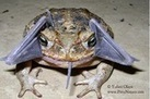 Bizarre Sighting: Cane Toad Eating a Bat? - LiveScience.com | Bat Biology and Ecology | Scoop.it